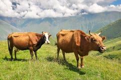 两头红色母牛在山的一个草甸 佐治亚 免版税库存图片