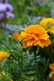 两黄色万寿菊是在树干水泥的绽放,并且叶子,那里是新颜色,形状是在周围和非常大的 免版税库存图片