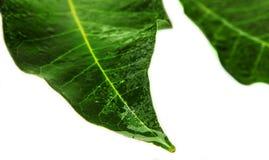两绿色和湿叶子 免版税库存照片