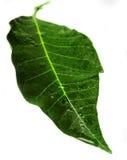 两绿色和湿叶子 免版税库存图片