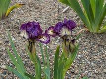 两紫色和Yeloow虹膜 免版税库存图片