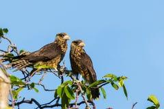 两黄色带头的长腿兀鹰 库存照片