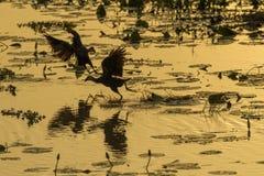 两紫色战斗在沼泽的Swamphen 免版税库存图片