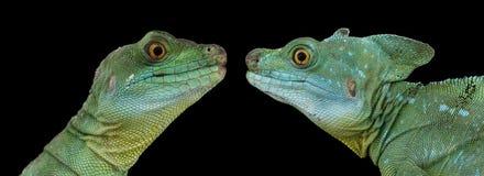 两绿色有顶饰蛇怪或耶稣基督蜥蜴特写镜头  图库摄影