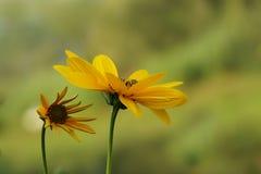 两黄色topinambur 免版税库存照片