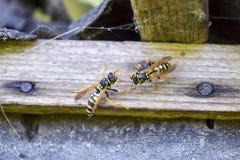 两黄蜂polists坐在彼此对面在棚子 库存图片
