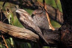 两头黄褐色的Frogmouth猫头鹰 库存图片