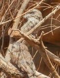 两黄褐色Frogmouths (Podargus Strigoides) 免版税库存照片