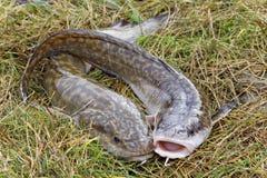 两说谎在草的江鳕 图库摄影