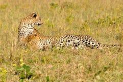 两头豹子使用 库存照片