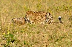 两头豹子使用 免版税库存照片