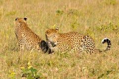 两头豹子使用 免版税库存图片