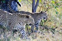 两头豹子特写镜头 免版税库存图片