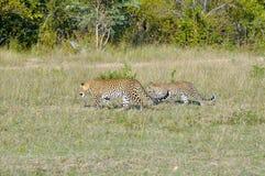 两头豹子特写镜头 图库摄影