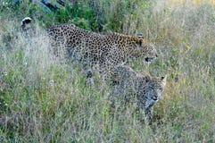 两头豹子特写镜头 库存照片