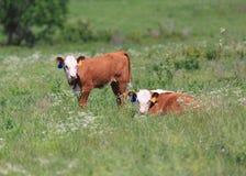 两头赫里福德小牛 免版税图库摄影