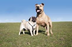 两头逗人喜爱的愉快的健康狗、哈巴狗和pitt公牛,演奏和获得乐趣外面在公园在晴天在春天 免版税库存图片