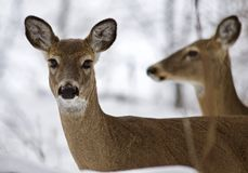 两头野生鹿美丽的被隔绝的照片在多雪的森林里 库存照片