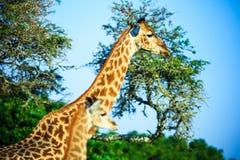 两头长颈鹿一张美丽的画象在savana背景的 库存照片