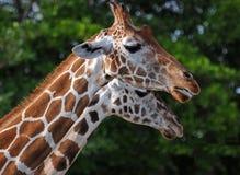 两头长颈鹿当镜象 免版税库存图片