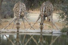 两头长颈鹿饮用水 库存图片