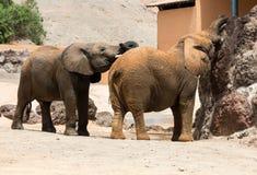 两头非洲大象公牛戏剧战斗 库存图片