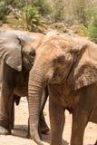 两头非洲大象公牛戏剧战斗 免版税库存照片