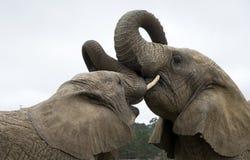 两头非洲大象战斗 免版税库存照片