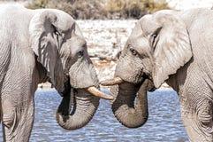 两头非洲大象面对面在埃托沙国家公园,纳米比亚 免版税库存照片