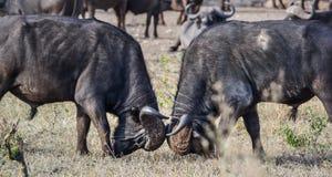 两头非洲水牛城公牛摆出攻击架式 库存照片