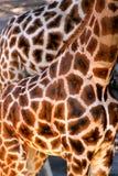 两头非洲长颈鹿 免版税库存照片