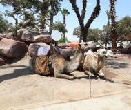 两头骆驼在中东 免版税库存照片