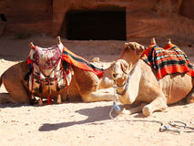 两头骆驼在Patra 库存图片