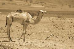 两头骆驼旅行 免版税库存照片