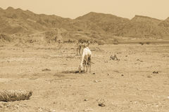 两头骆驼旅行 库存照片