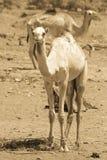 两头骆驼旅行 免版税图库摄影