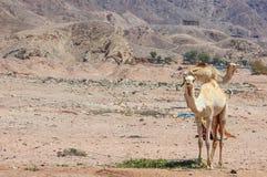 两头骆驼旅行 库存图片