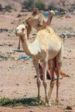 两头骆驼旅行 图库摄影