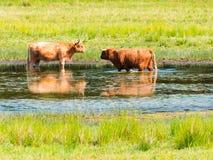 两头高地母牛在池塘变冷静在热的夏日本质上r 库存照片