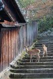 两头鹿在一个楼梯站立在宫岛(日本) 免版税库存照片