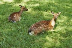 两头鹿母鹿在一个开放草甸 免版税库存照片