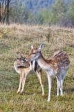 两头鹿 免版税库存照片