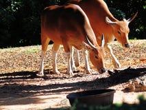 两头banteng母牛 库存图片