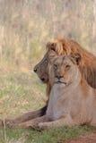 两头lounging狮子 库存照片