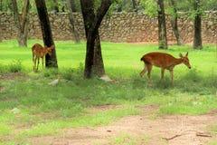 两头Manipuri鹿在动物园里 免版税库存照片