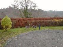 两头Sika鹿在庭院1里 免版税库存照片