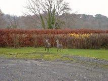 两头Sika鹿在庭院2里 库存照片