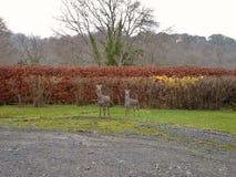 两头Sika鹿在庭院3里 库存图片