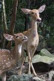 两头Sika鹿在森林里,伸出舌头  图库摄影