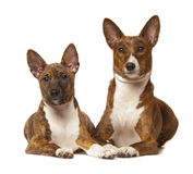 两basenji狗在白色背景被隔绝 库存图片
